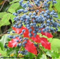 ore grape