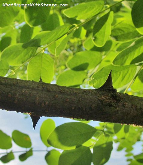 8 thorn