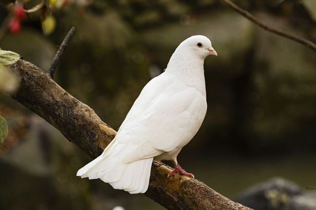dreamstime-dove