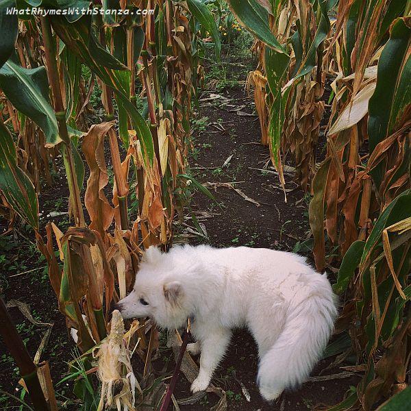 8-corn-maze