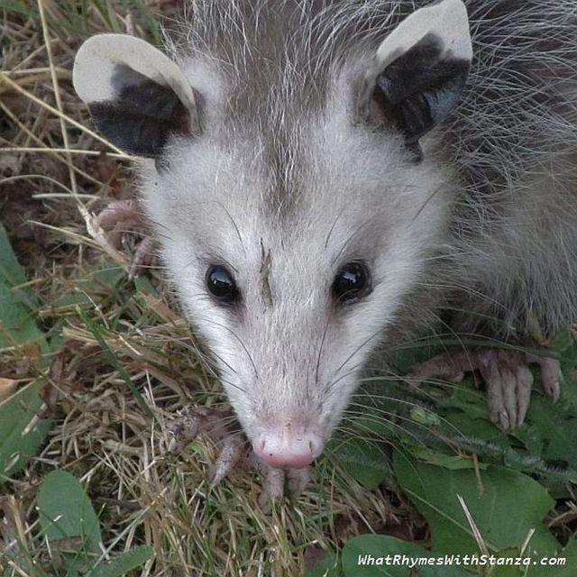 o opossum