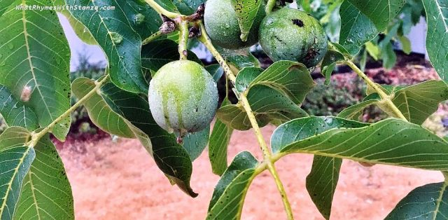 green walnut 1