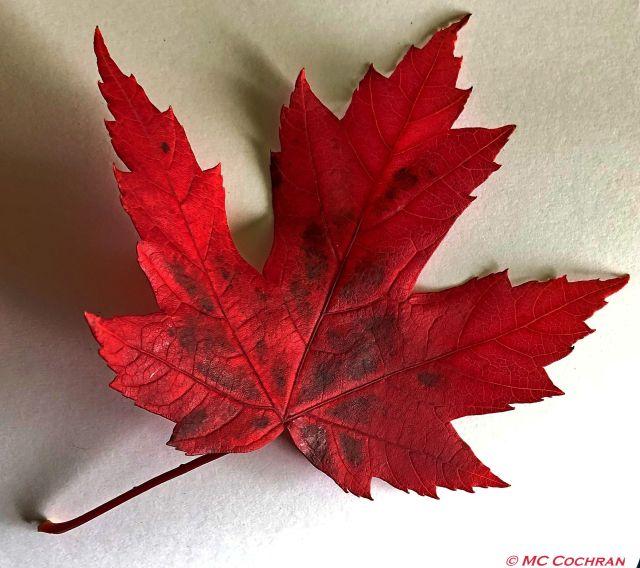 red leaf1