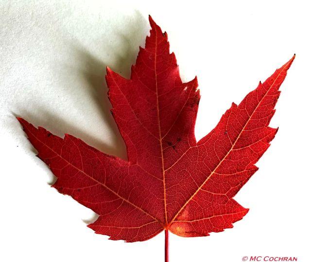 red leaf2